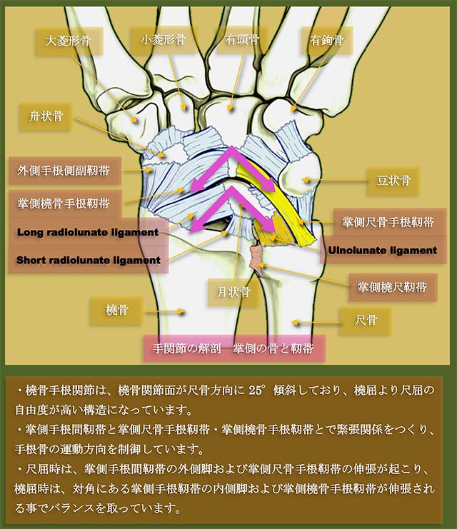 「尺骨三角骨靱帯、尺骨月状骨靱帯、掌側橈尺靱帯、背側橈尺靱帯、関節円板、尺側側副靱帯、三角靱帯」の画像検索結果